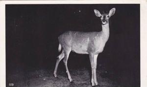 Night View, Deer Poses For Camera, Sayner, Wisconsin, 40-60's