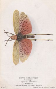 Phymateus Morbilloscus Grasshopper Antique Exotic Orthoptera Insect Postcard
