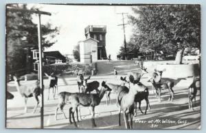 Postcard CA Mt Wilson Deer Herd at Mount Wilson RPPC Photo P14