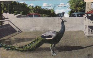 Michigan Traverse City Peacock At Clinch Park