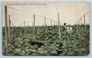 Postcard Puerto Rico Growing Tobacco Under Canvas c1912 W8