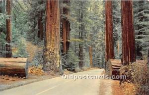 Sequoia Sempervirens California Redwoods, USA Logging, Timber Unused