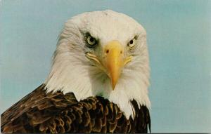 Bald Eagle Greetings fr/ Big Bay BC British Columbia Unused Vintage Postcard D77