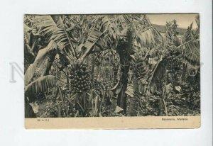3155637 PORTUGAL MADEIRA Bananeira Vintage postcard