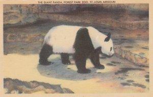 Panda Bear , Forest Park Zoo , ST. LOUIS , Missouri , 1930-40s #2