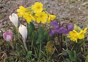 Switzerland Feldblumen Wild Flowers Spring Crocus