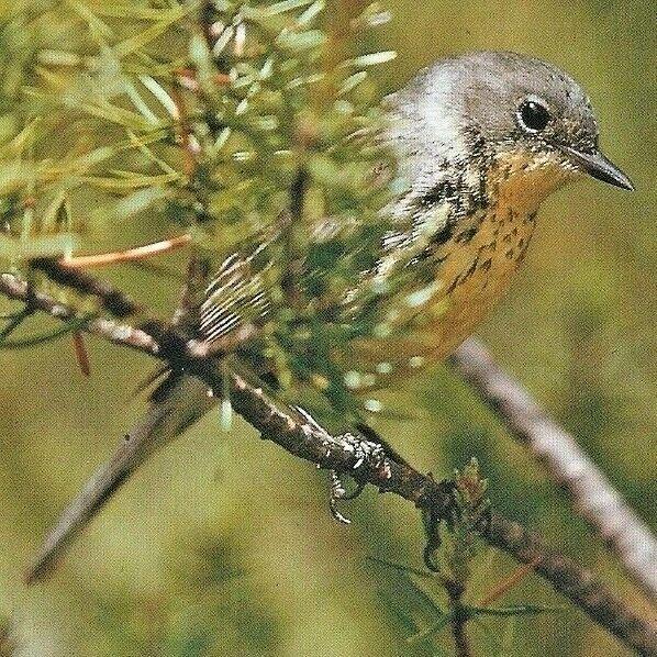 Michigan's Kirtland Warbler bird Mio Grayling North American Larry West