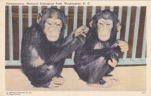 Chimpanzees, National Zoological Park, Washington D. C., 30-40s
