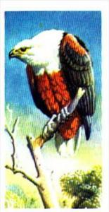 Brooke Bond Trade Card Tropical Birds No 16 Fish Eagle