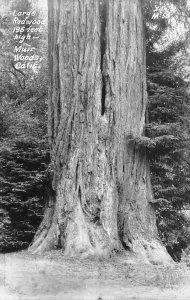 RPPC Large Redwood Tree MUIR WOODS, CA Marin County c1950s Vintage Postcard