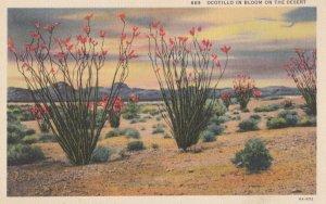 Ocotillo in bloom on the desert , 1930-40s