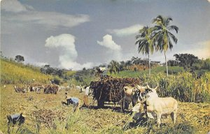 Jamaica, Jamaique Post card Old Vintage Antique Postcard Reaping Sugar Cane U...