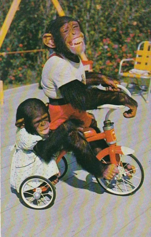 Florida Miami Chimpanzees Riding Tricycle At The Monkey Jungle