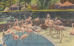 Flamingos Wading In Pool at Tropical Hobbyland Miami Florida