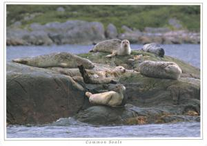 Postcard Common Seals, Native to Scotland by Ronald W Weir Photography G70