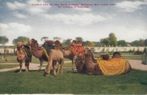 CHICAGO , Illinois , 00-10s ; Camels