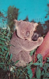 Koala Eating Eucalyptus Leaves - Australia, 1940s to Present