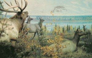 WAPITI , Saskatchewan , Canada , 1950-70s ; Bull Elk