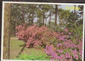 Azaleas in Bloom in FL Postcard BIN