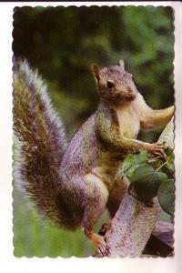 Grey Squirrel, Maine, Valence