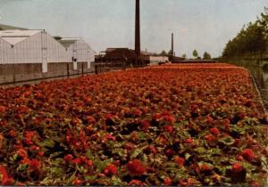 Netherlands Aalsmeer The Flower Centre Of Europe