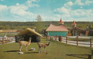 Canada Llamas The Children's Zoo Storyland Valley Edmonton Alberta