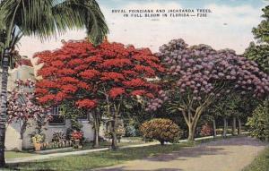Royal Poinciana And Jacaranda Trees In Full Bloom In Florida 1967