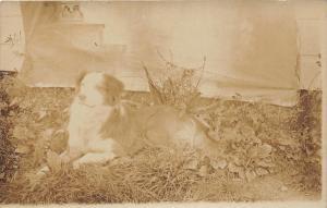 F27/ Animal RPPC Photo Postcard c1910 Dog Pet 1