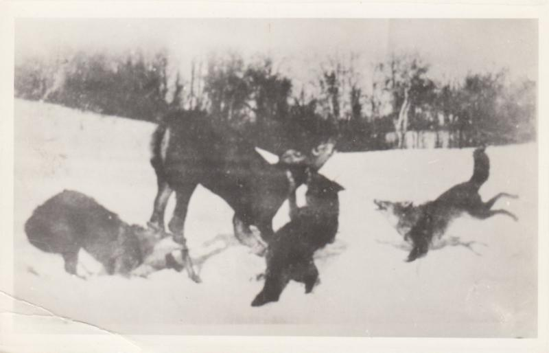 RP: Pack of Wolves killing a deer , Yukon Territory , Canada , 00-10s