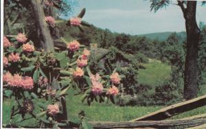 USA, Catawba, Rhododendron, unused Postcard