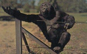BIG MAN , Gorilla , Kansas City , Missouri , 1965 ; Zoo