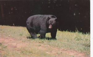 Black Bear,Great Smoky Mountains National Park,Tennessee,40-60s