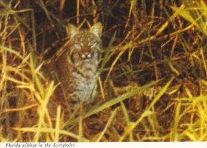 Florida Wildcat In Everglades National Park Florida