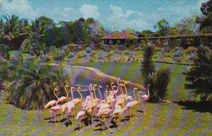 Florida Miami Over 100 Beautiful Flamingos Parade On The Banks Of The Flaming...