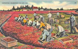Cape Cod MA Harvesting Cranberries Workers 1946 Linen Postcard