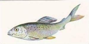 Craven Black Cat Vintage Cigarette Card Sport Fish No 5 Grayling