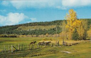 Horses, Cariboo Ranch, WILLIAMS LAKE, British Columbia, Canada, 40-60's
