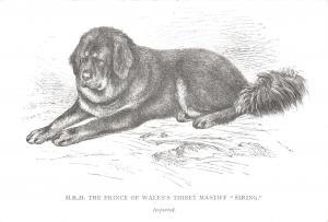 Postcard HRH Prince Wales's Thibet Mastiff, Siring, Dog Lovers Collection #124