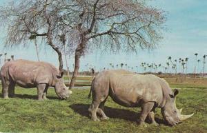White Rhinoceros - African Veldt at Busch Gardens - Tampa FL, Florida
