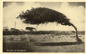 curacao, Divi-divi, Cascalote, Guatapana, Windboom, Wind Tree (1950s) Postcard