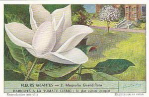 Liebig Trade Card S1536 Giant Flowers No 2 Magnolia Grandiflora