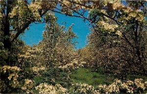 Traverse City Michigan~Cherry Blossom Time~Michigan Water Wonderland 1950 PC