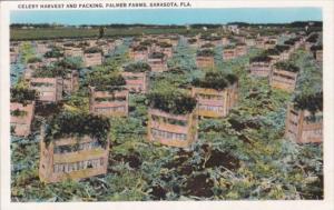 Florida Sarasota Celery Harvest and Packing At Palmer Farms