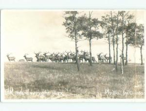 Bent Pre-1949 rppc LOTS OF ELK IN PARK Wainwright AB o1386