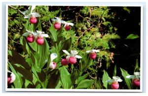Postcard Queen Slippers aka Snowy Orchid, Maine rare flower unposted A2