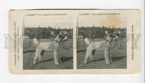 3072171 Russian champion fox-terrier Drednout Stereo