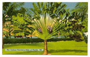 FL - Curious Traveler's Palm