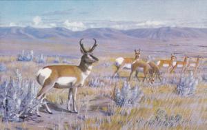 PRONGHORN (Antelope) , Museum of Natural History , REGINA , Saskatchewan , Ca...
