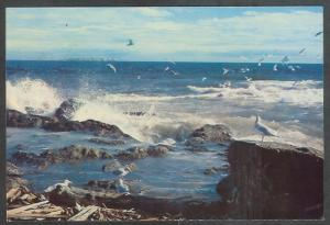 Canada British Columbia sea gulls, Juan de Fuca Straits, unused