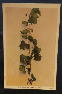 Postcard Unused Everbearing Grape by L.G. Meier MT Pleasant TX LB